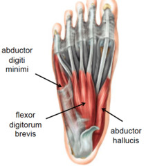 Foot_muscles